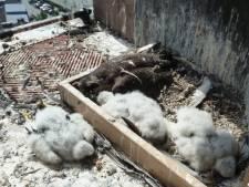 Mysterieuze valkenmoord Duitsland: Natuurbescherming razend na staken onderzoek