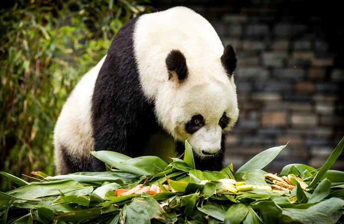 Reuzenpanda Xing Ya wordt getrakteerd op een ontbijt in het buitenverblijf van Ouwehands Dierenpark Rhenen.