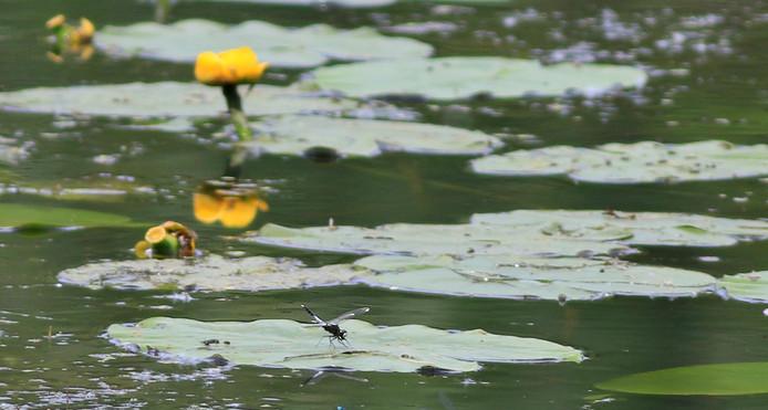 Een sierlijke witsnuitlibel op gele plomp.