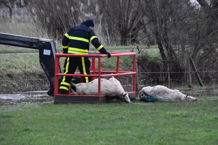 De twee dode schapen die dinsdag uit het water werden gevist.