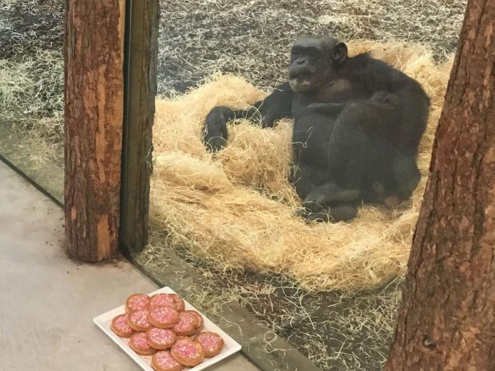 Chimpansee Christa met haar pasgeboren dochter.