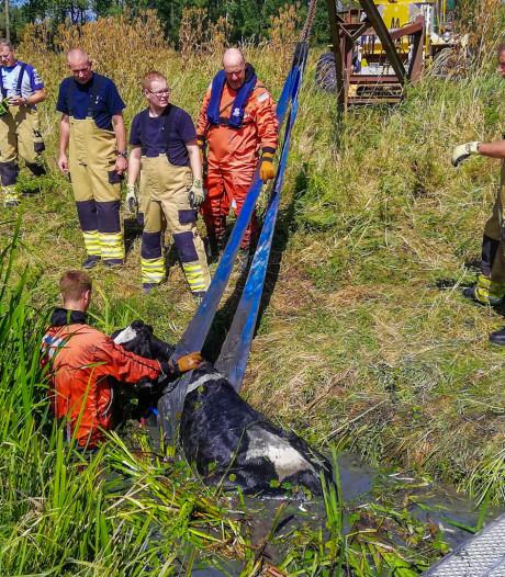 Brandweer anderhalf uur bezig met redding van koe uit Arnhemse sloot