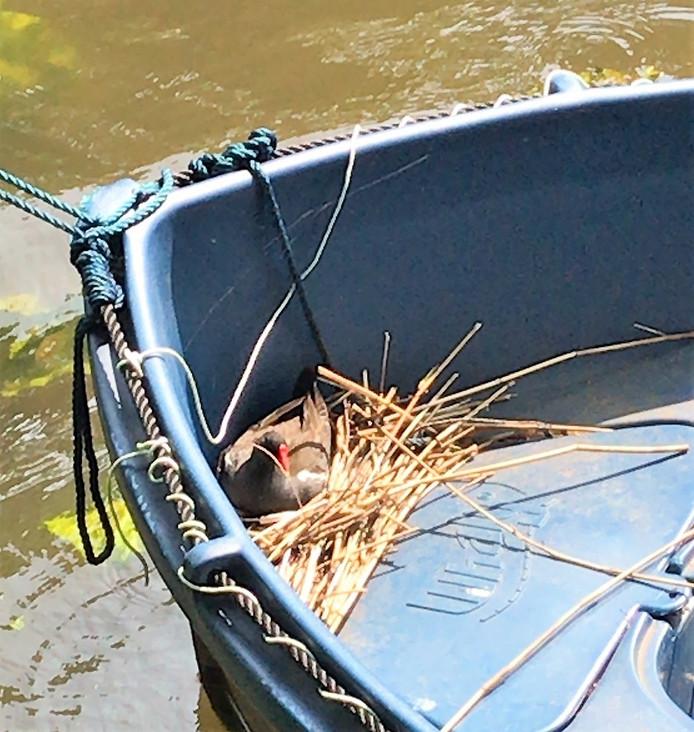 Waterhoen Dennis op zijn nest in de boot