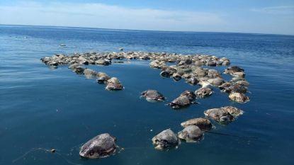 300 bedreigde zeeschildpadden dood gevonden in visnet aan zuidkust Mexico