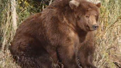 'Fat Bear Week': beer 409 troeft iedereen af en is ultieme dikste beer