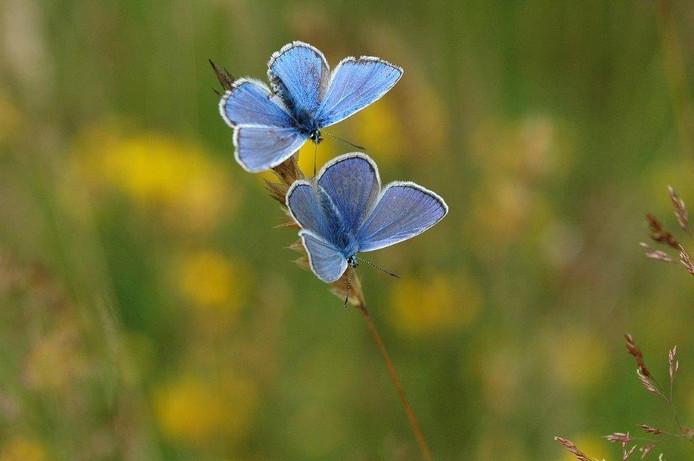 Het icarusblauwtje is de grote verliezer in het Cadoelerveld tussen Vollenhove en Zwartsluis.