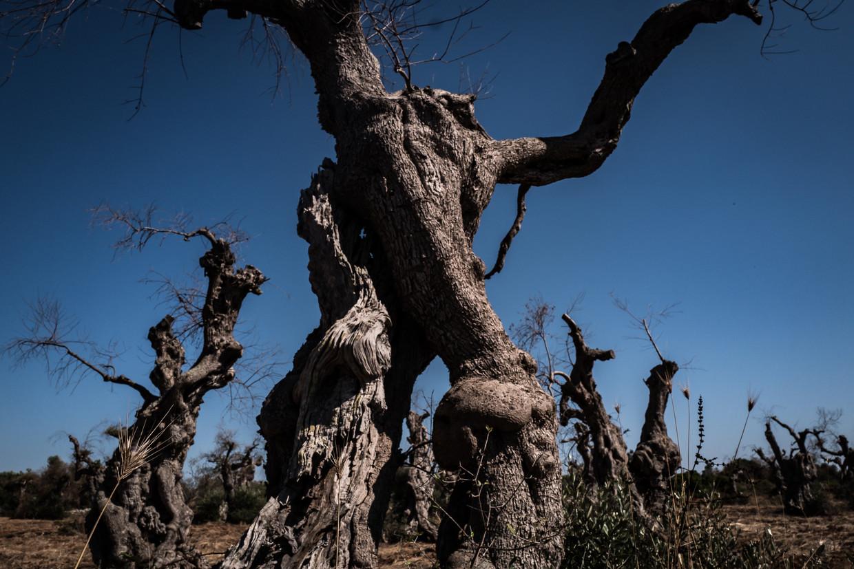 De 'ulivi secolari', olijfbomen van soms wel duizend jaar oud, genieten een haast mythisch aanzien. Beeld Nicola Zolin