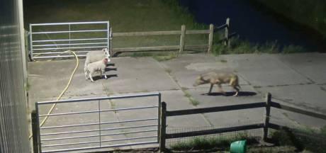 Gemist? Grondbezitters Gelderland willen wolven kunnen afschieten en explosie houdt Zwolle bezig