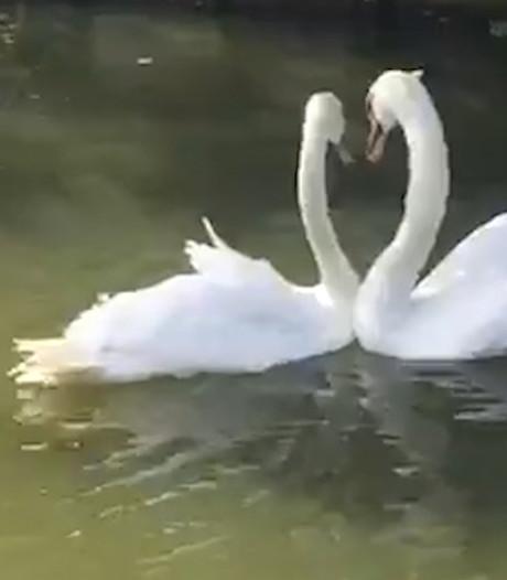 Liefdevolle hereniging van zwanen in Dordrecht is internethit