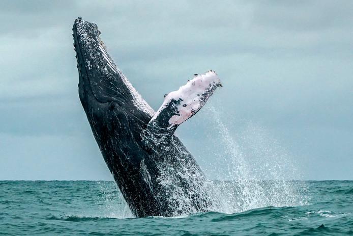 Walvissen, waaronder bultruggen, leden aan stress door zeeslagen