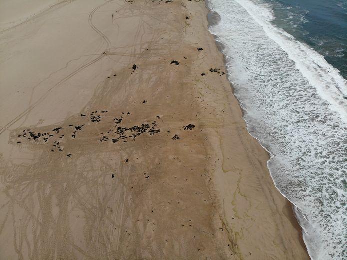 Dode robben bezaaid over het strand nabij Pelican Point.