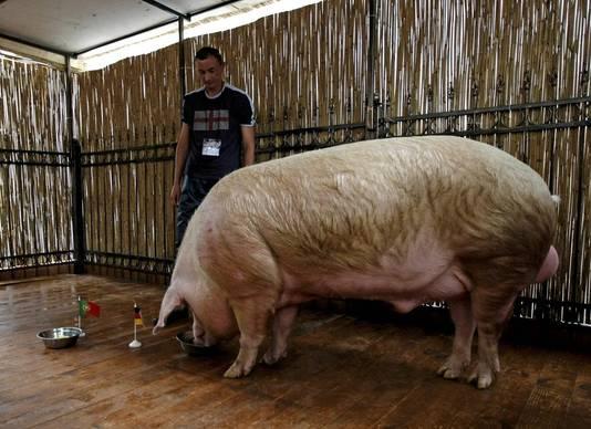 Het varken Funtik voorspelt de winst van Duitsland tegen Portugal.