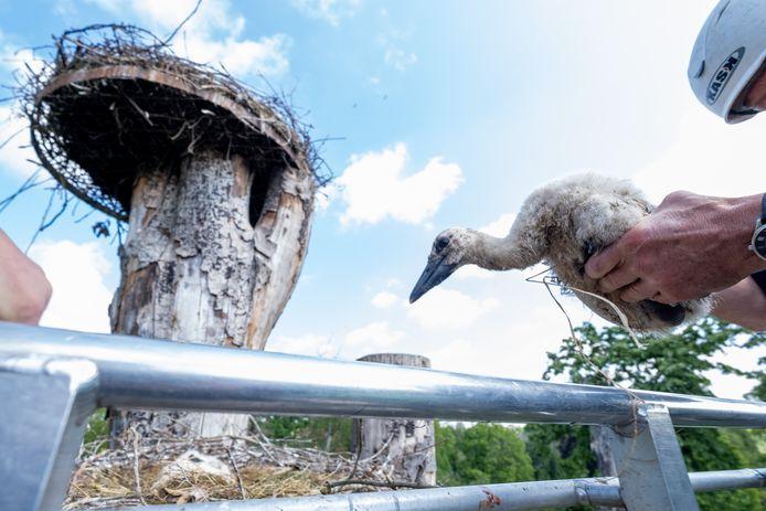 Ooievaars worden geringd in Dierenpark Planckendael te Muizen