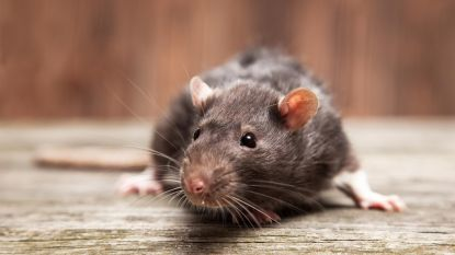 Achttien dieren in beslag genomen bij man waar ook rattenplaag heerst