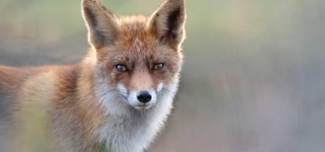 Zijn 'Dreamy Fox' werd gekozen uit 20.000 foto's: Jeroen uit Wijchen in finale internationale wedstrijd