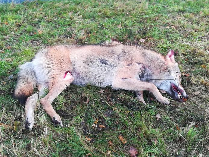 De dode wolf die Sebastiaan Bake maandagochtend vond.