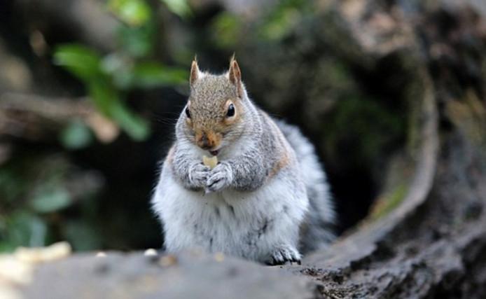Een van de eekhoorns met overgewicht.