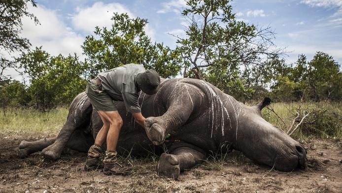 Handel In Neushoorn Mag Weer In Zuid Afrika Nieuws Ad Nl