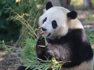 Le panda Tian Bao va quitter Pairi Daiza