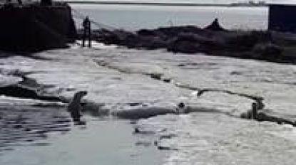 Uitgeputte ijsbeer duikt 700 kilometer van huis op in Rusland