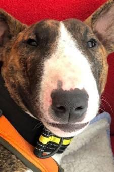Flinke beloning uitgeloofd voor het vinden van vermiste pup Bandit