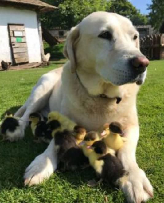 De 10-jarige labrador Fred is 'papa' geworden. De hond ontfermde zich over negen eendjes bij kasteel Mountfitchet in het Britse Essex, nadat hun moeder was verdwenen.