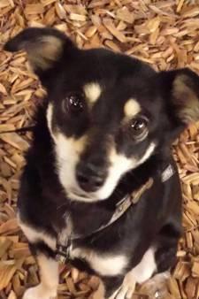 Schippershond Bobbie vermist