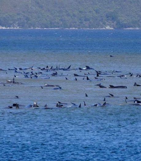 250 baleines échouées sur un banc de sable en Australie