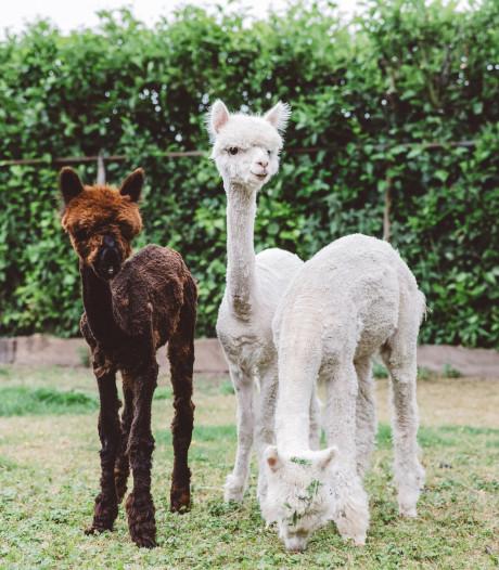 Binnenkort beschuit met muisjes: kleine alpaca's op komst