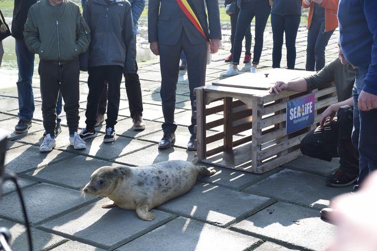 Zeehond Nona wordt vrijgelaten.
