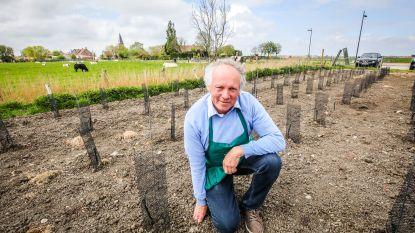 Wijnbouwer Eddy Durnez plant met 500 druivenstokken grootste wijngaard aan de kust
