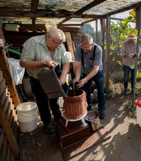 Wijnoogst op het Achtereind in Aalst
