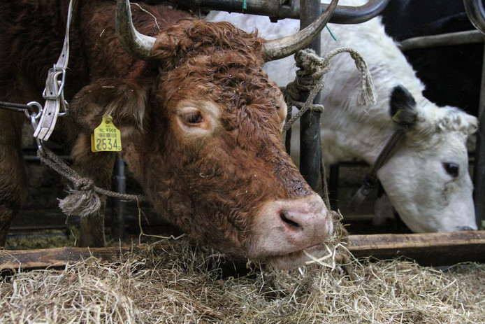 Koe Hermien is maandagochtend aangekomen in koeienrustuis 'de Leemweg' in het Friese Zandhuizen. Hermien ontsnapte zo'n twee maanden geleden bij Lettele. De Partij van de Dieren zette een actie op om te zorgen dat de koe kon worden vrijgekocht en de rest van haar leven in de opvang kan verblijven. Hermien maakt nu kennis met haar stalgenoten. Foto Anton Kappers