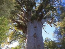 Nieuw-Zeeland treurt om naderende dood van grootste én oudste boom