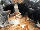 Babyboom in Hengelo: dierenopvang vol kittens