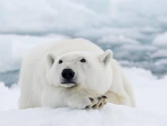 Pairi Daiza wil verblijf voor drie ijsberen bouwen, protest tegen plannen verboden