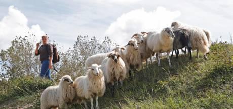 Raad zet zich in voor schaapskooi in Voornes Duin