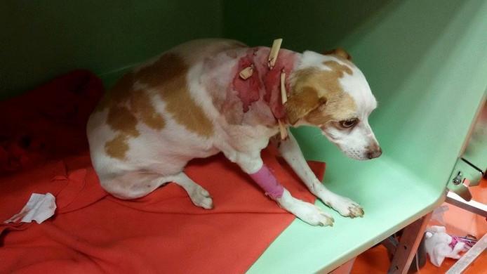 De hond heeft diepe bijtwonden overgehouden aan de aanval en vecht voor zijn leven.