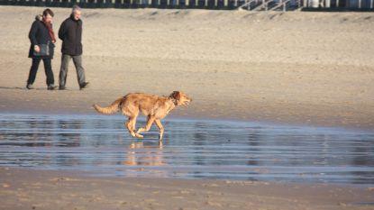 Meer vrijheid voor honden op alle Oostendse stranden