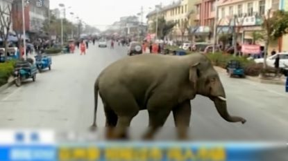 Wilde olifant verdwaalt en belandt in Chinese stad