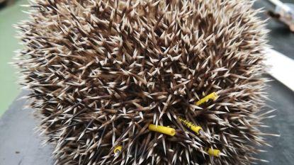 Natuurhulpcentrum 'ringt' egels rond de stekels