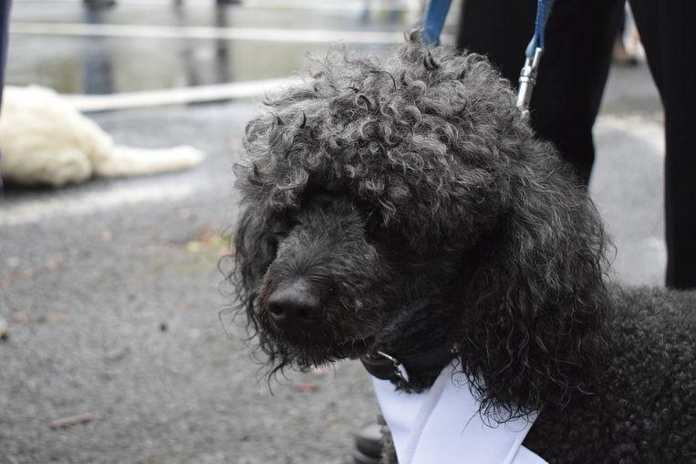 Tuur Haelman, de bekendste hond van Zelzate en omstreken.