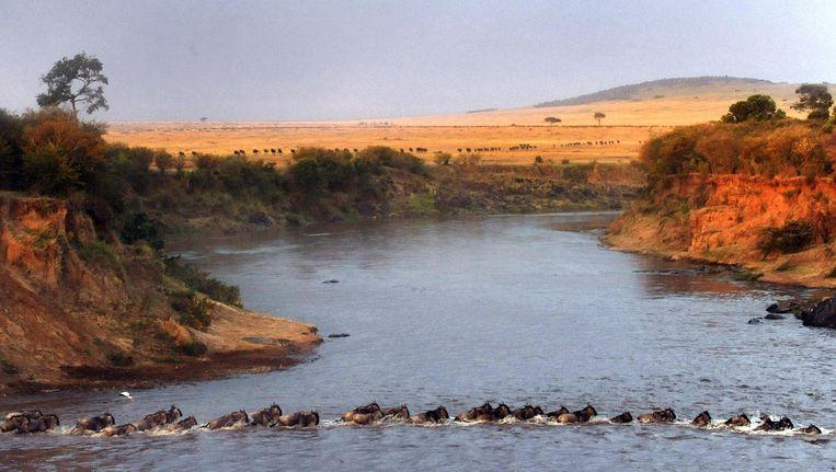 De jaarlijkse oversteek van de Mara. Hierbij komen duizenden gnoes om. Het leven in de rivier gedijt er wel bij. Beeld afp