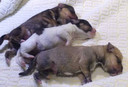 De drie vermoedelijke Stafford puppy's die woensdagmiddag werden aangetroffen achter het station in Deventer.