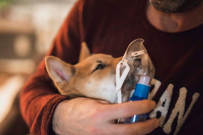 De longen van Atilla zijn aangetast door een zware longontsteking.