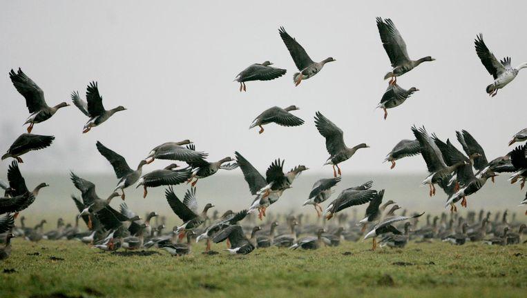 Neergestreken ganzen in een weiland langs de A1 bij Eembrugge. Beeld anp