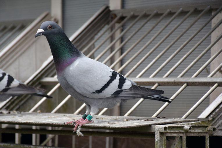 En de duif, zij keerde weer.