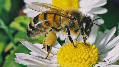Ook Heuvelland wil bijen helpen