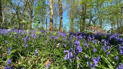 Ze zijn terug: de bloeiende boshyacinten in Tiegembos