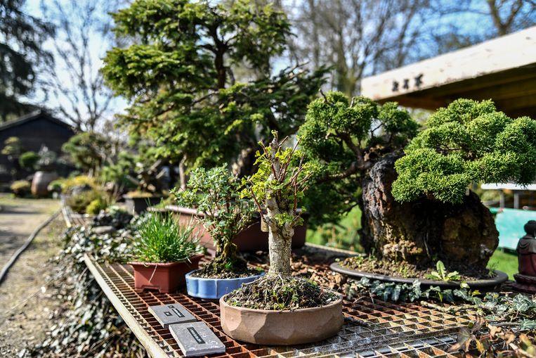 Callaert heeft in zijn tuin een indrukwekkende collectie bonsai.